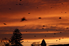 Morning frenzy (Snorkle-suz) Tags: sky trees winter newzealand holiday silhouette nz aotearoa canoneos600d canoneosrebelt3i canoneoskissx5 motionblur smileonsaturday birds sunrise flying 1855mm 18to55mm