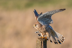 kestrel / Turmfalke (Senol Könnecke) Tags: kestrel nature wildlife birds birdsofprey raptor hunter photography nikon d850 nikon200500mm turmfalke birding birdwatching natur raubvogel raubvögel