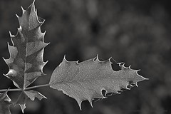 Right angle (L@nce (ランス)) Tags: monochrome bw micro macro nikon nikkor leaf leaves jamesbay victoria canada britishcolumbia