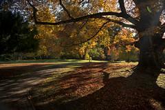Good bye autumn (Varvara_R) Tags: nature autumn fall fallcolors goldenautumn yellow golden tree sunshine warmth shadow shadows canada britishcolumbia hatleypark