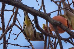 Lesser Goldfinch (Corbie) Tags: lesser goldfinch