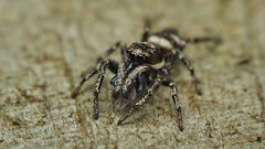 Photo of zebra jumping spider, Salticus cf scenicus with prey