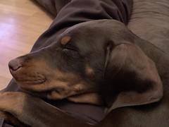 Sleeping Doberman Pinscher Puppy Kaiser (firehouse.ie) Tags: dobermans pinschers pinscher dobermanns dobermann doberman dobies dobie dobeys dobey dobes dobe dogs dog puppies puppys puppy pups pup
