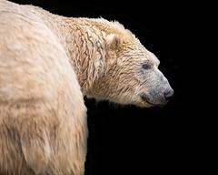 Into the Dark (tiger3663) Tags: polar bear yorkshire wildlife park dark