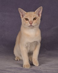 Bob in the studio (jim.kinkennon) Tags: cream european burmese kitten cat