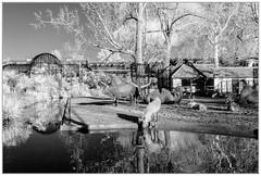 365 Infrared 334 Savanna (PeteMartin) Tags: 365 artis bw camel cow infrared reindeer watutsi zoo amsterdam netherlands