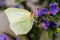 Common Brimstone (Gonepteryx rhamni) Citroenvlinder (Ron Winkler nature) Tags: brimstone vlinder gonepteryxrhamni gonepteryx rhamni citroenvlinder macro nature netherlands canon butterfly insect europa europe wildlife nederland insects lepidoptera 5div 100400ii