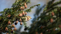 Spinus Tristis II (AVNativePlants) Tags: native bird wildlife wild nature foraging seed eating hemlock canadian tsuga canadensis tree plant american songbird gold finch goldfinch cute peeking