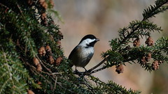 Poecile Atricapillus VI (AVNativePlants) Tags: native bird wildlife wild nature foraging seed eating hemlock canadian tsuga canadensis tree plant american songbird black capped chickadee cute
