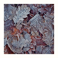 Lightly Frosted (busmender1964) Tags: frost frostedleaves leaves autumnalcolours autumnal