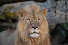 Dembe_02 (Nick Dijkstra) Tags: africanlion afrikaanseleeuw artis bigcat dembe löwe
