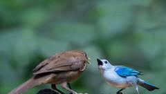 Blue-Gray Tanager vs Clay Colored Trash (Mustafa Kasapoglu) Tags: claycoloredtrash bluegraytanager tanager trash costarica costa rica birds birdphotography birding birdwatching bird nature nikon d810