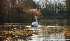 In der Morgensonne (KaAuenwasser) Tags: schlossgartensee see wasser schwan vogel wasservogel morgen morgensonne licht schatten baum bäume laub blätter blatt natur schilf pflanzen stimmung ruhe stille enten farbe herbst herbstlich