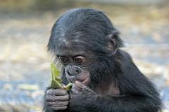 Young bonobo (K.Verhulst) Tags: bonobo mensaap ape apenheul apeldoorn monkeys apen coth5