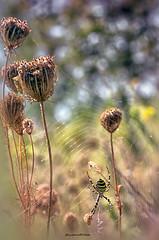 Argiope bruennichi - Scopoli, 1772 (fabrizio daminelli ) Tags: ragnovespa argiopebruennichi scopoli1772 ragno aracnide macro nature natura wild wildlife canon tamron fabriziodaminelli