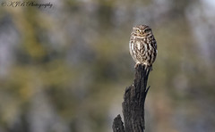 Little Owl (Long Shot) (KJB Photography.) Tags: little owl nature fenland wetland bird prey perched