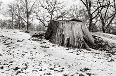 The stump (Geir Bakken) Tags: stump snow winter blackandwhite fomapan200 fomadonp beltica carlzeissjena tessar film filmisnotdead filmphotography filmcamera 135 135film vintagecamera