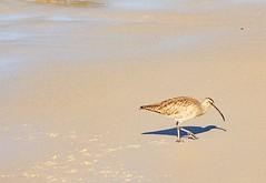 Whimbrel Making Tracks (parmrussrap) Tags: whimbrel birds shorebirds wading bill curved tracks beech sand