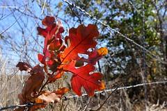 New Fall Oak in the Fence (Gene Ellison) Tags: tree autumn fallcolor red orange amber yellow green leaves nature photography naturephotography fujifilm velvia sooc