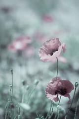 Porque nunca es tarde, y el tiempo sólo se acaba cuando se acaba la vida. Y hasta ese momento, existe una posibilidad para todo. (Elena m.d. 12.7M views.) Tags: poppies flowers red rojo nature flores paisajes printemps macro 2019