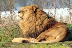 Lion J78A1376 (M0JRA) Tags: wildlife parks doncaster people visitors animals lions tigers cats keepers
