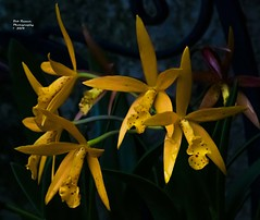 Orchid Yellow. (rumerbob) Tags: orchidyellow orchid flower floral flowergarden fauna flowerphoto macro macroflower macrophotography nature naturewatcher naturephotography botany botanicalgardens botanical longwoodgardens canon7dmarkii canon100mmmacrolens