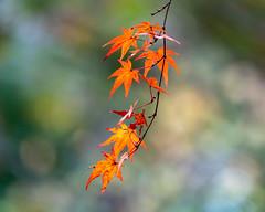 Autumn leaves (shinichiro*) Tags: 新座市 埼玉県 日本 20191127dsc00054 2019 crazyshin sonydscrx10m4 november autumn 平林寺 niiza saitama japan jp candidate 49148662228