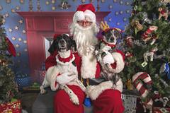 20_b_Drew_Bandit (Salty's Pet Supply) Tags: santa photo holiday christmas xmas dog dogs cat pets fang portland pdx oregon charity pongo matthowl nancyfedelem christmasstory backdrop iphone canon iphonography portrait community