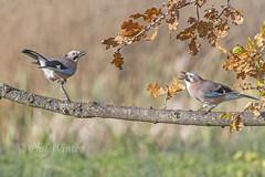 Jay (Garrulus glandarius) (phil winter) Tags: jay garrulusglandarius pair oaktree acorn corvid