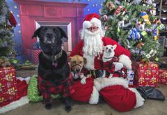 36_b_Josey_Dusty_Rhoda (Salty's Pet Supply) Tags: santa photo holiday christmas xmas dog dogs cat pets fang portland pdx oregon charity pongo matthowl nancyfedelem christmasstory backdrop iphone canon iphonography portrait community