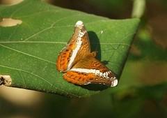 The Knight - Lebadea martha (nikolayloginov) Tags: lebadeamartha butterfly thailand бабочка таиланд