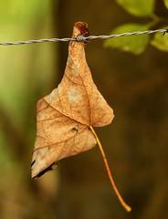 Kopf hoch (Gerd Trynka-Ottosohn) Tags: ottosohnfoto germany blatt leaf stacheldraht herbst autumn fall barbedwire headup walimex1485mm