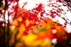 November (moaan) Tags: kobe hyogo japan momiji maple japanesemaple autumn fall autumnleaves fallfoliage autumncolors fallcolors bokeh bokehphotography dof leica leicamp type240 noctilux 50mm f10 leicanoctilux50mmf10 utata 2019