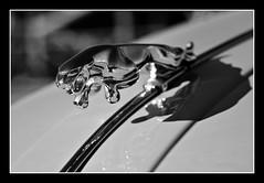 Jaguar XK150 S ornament (@GilAegerter / klahini.com) Tags: monochrome blackandwhite blackandwhitephotography manualfocus manuallens nikon nikkor jaguar oldcars 85mmf18k d5500