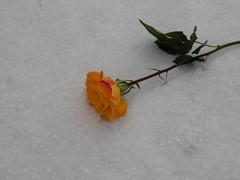 Blond Rose in Virgin Snow (TwinLotus II) Tags: coolpix coolpixb500 yellow rose snow