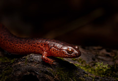 Red Salamander(Pseudotriton ruber) (cre8foru2009) Tags: pseudotritonruber redsalamander salamander amphibian macro nature red