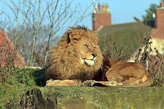 J78A1383 (M0JRA) Tags: wildlife parks doncaster people visitors animals lions tigers cats keepers