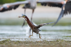 It's Not Easy Bein' Green (Melissa James Photography) Tags: greenheron nikond500 nikon500mmf56pf for florida greatblueheron
