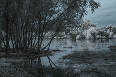Water Fowl At Lindo Lake (Bill Gracey 25 Million Views) Tags: infrared infraredphotography ir convertedinfraredcamera surreal lindolake lakeside highcontrast waterfowl water clouds trees vegetation reflections