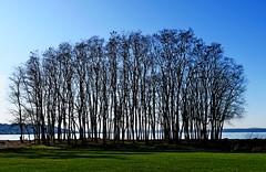 Copse, Seattle, WA 11/30/19 (LJHankandKaren) Tags: copse goldengardenspark pugetsound