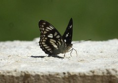 THE BLACK-VEINED SERGEANT - ATHYMA RANGA (nikolayloginov) Tags: athymaranga butterfly thailand бабочка таиланд animalplanet