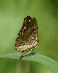THE LEMON PANSY - JUNONIA LEMONIAS (nikolayloginov) Tags: butterfly thailand бабочка таиланд animalplanet