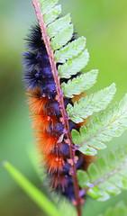 Pardon The Interruption - In Explore (brendakirkley) Tags: macro caterpillar fern nature garden ngysa ngysaex