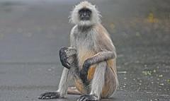 Gray Langur India DSC_6756 (JKIESECKER) Tags: monkey primates bhopal india wildlife wildlifeviewing wildlifeportrait animals animalportrait animalbehavior langur peopleandnature peoplenature
