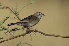 Botteri's Sparrow (www.studebakerstudio.com) Tags: botteris sparrow botterissparrow monsoon