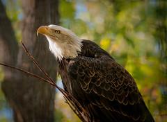 _TPW_Eagle (winn.timothy59) Tags: bird eagle zoo animal