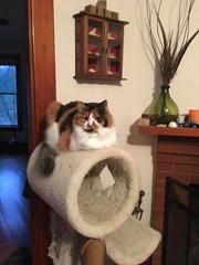 Miss Woo Says Hello (jessamyn) Tags: cat pets misswoo stow stowma