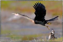 Anhinga Takeoff... (RKop) Tags: florida raphaelkopanphotography d500 600mmf4evr tampa nikon nature birds wildlife