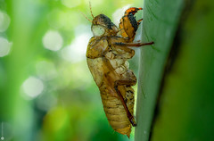 Empty Shell (Lr Home) Tags: cicada a6000 sel30m35 focusstacking heliconfocus7 macro