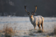 Frosty Buck (andy_AHG) Tags: wildlife winter stag fallowdeerbuck antlers animals nikond300s yorkshire